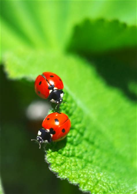 where to find ladybugs in your backyard lady bugs pest control las vegas nv