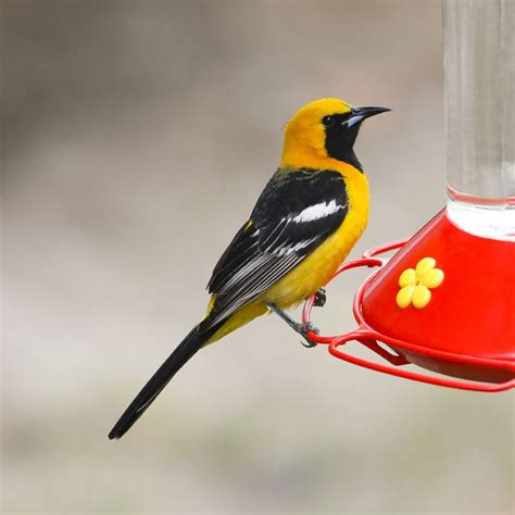 17 best images about birds of san diego on pinterest