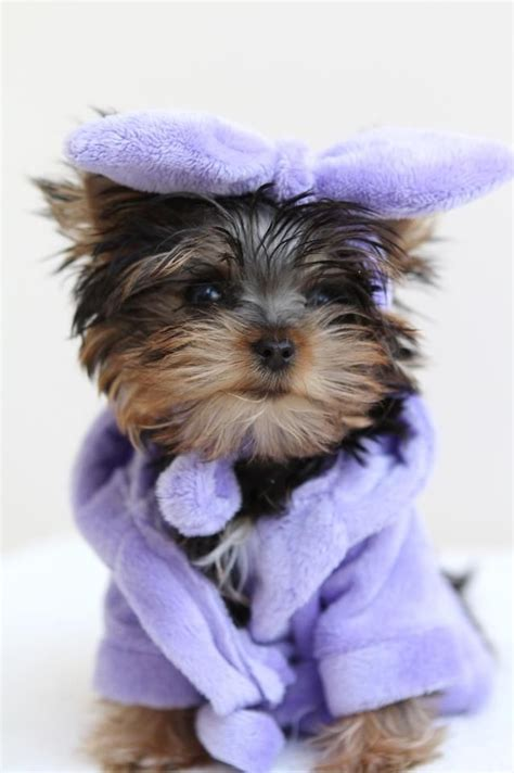 yorkie dressed up all dressed up and no where to go yorkies