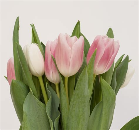 Benihbijibibit Bunga Tulip Bi Colour marlon u0026 lydia wedding villa karang putih bali