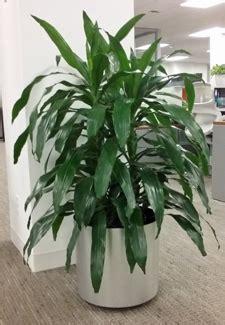 corn plant common house plants plant care for dracaena janet craig house plants