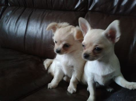 maltese chihuahua mix puppies chihuahua mixed with maltese puppies images