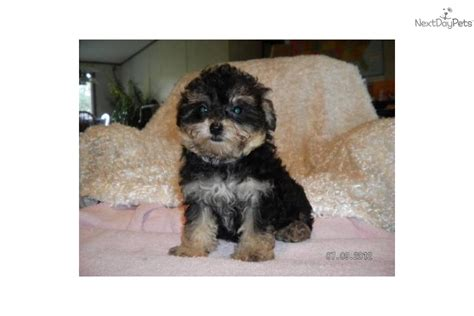yorkie poo puppies rochester ny poo breeds picture