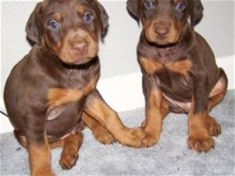 fawn doberman puppies for sale doberman pinscher puppies for sale