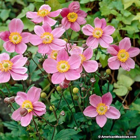 anemone hupehensis september charm windflower american