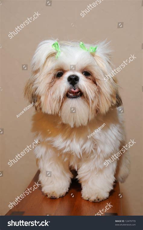 shih tzu hair bows 9 month shih tzu puppy with hair bows stock photo 12479770