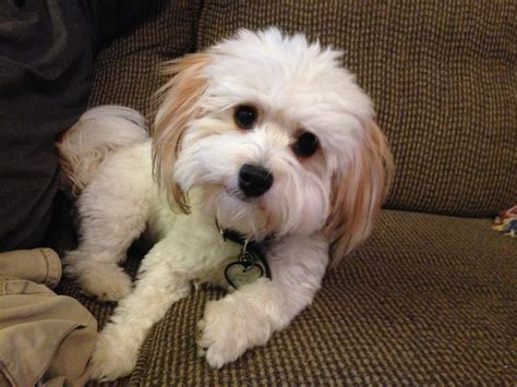 havanese clipped white havanese puppy cut www pixshark images galleries with a bite