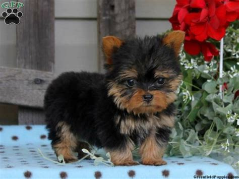 yorkies for sale scotland gracie yorkie puppy for sale in rising sun md yorkie puppies