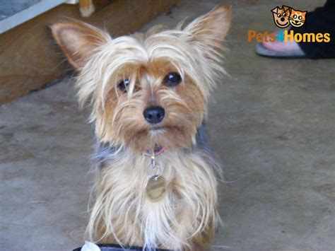 yorkie 2 years year yorkie puppies i am lucky a social with 12 year 8 25 best