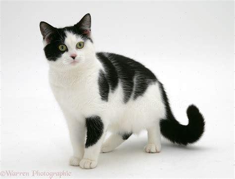 white black cat black and white cat photo wp26256