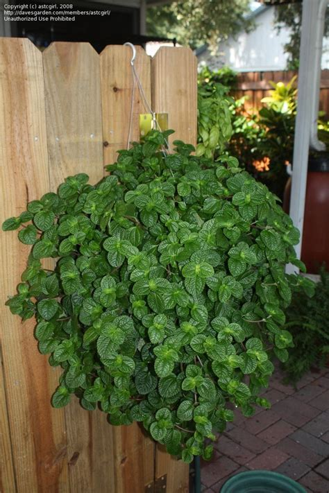 creeping charlie pilea nummulariifolia house plant care