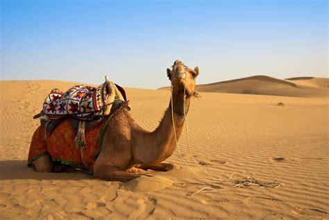 diferencia entre camello  dromedario