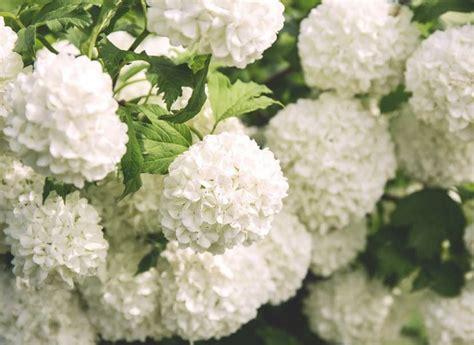 significato fiori bianchi fiori bianchi nomi caratteristiche origine immagini