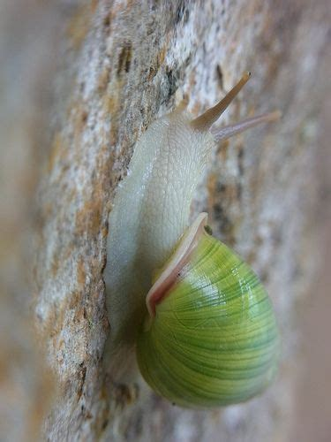 terrestrial snail pictures about animals land snail laos terrestrial snails and slugs pinterest