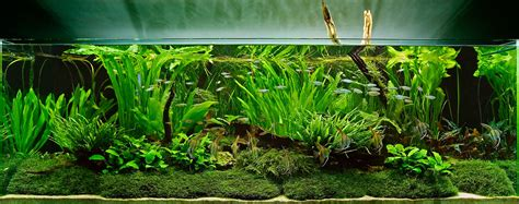 Freshwater Aquascaping Designs by An Aquascape With Aquatic Plants And Moss Live Planted