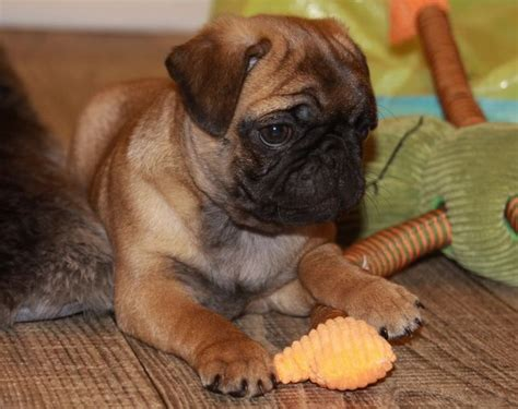 apricot pug puppies 64 best images about pugs on chocolate labradors miniature and birthday cards