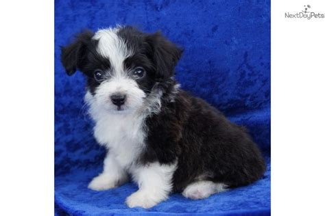 aussiedoodle puppies for sale aussiedoodle breeds picture