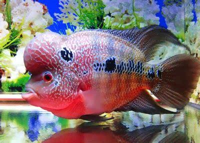 Pakan Ikan Louhan Untuk Jenong pesona ikan louhan taufanova