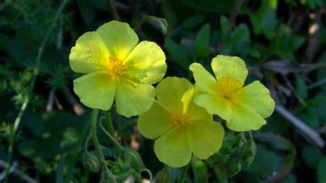 curare l ansia con i fiori di bach quali fiori di bach per combattere ansia e stress diredonna