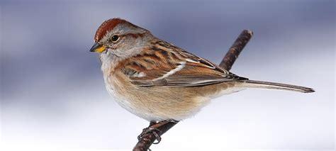 wild birds unlimited brown sparrow bird with reddish head