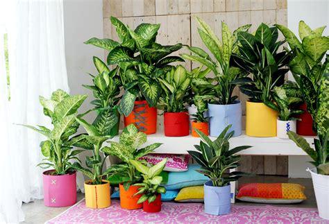dieffenbachia  joy  plants