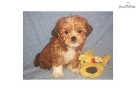 shih tzu socks shih tzu puppy for sale near zanesville cambridge ohio d33016f6 aaa1