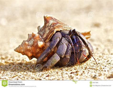 Hermit Crab stock photo. Image of horizontal, sand ...