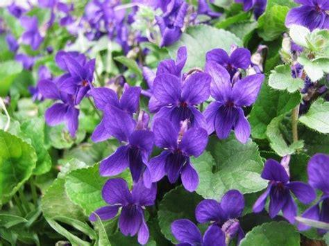 cespuglio fiori viola fiore viola piante annuali come prendersi cura della viola