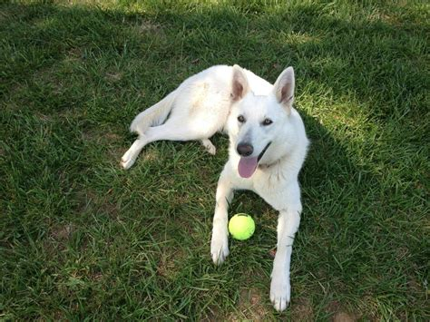 Mixing White pics for gt german shepherd mix with lab white