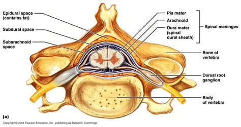 cross section of the spinal cord labeled ch 12 gross anatomy of the spinal cord