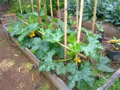 zucchini vertical gardening growing squash and
