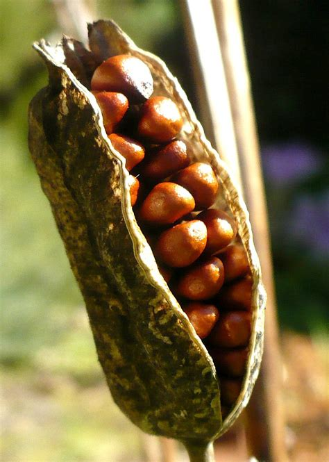 in pods 1000 images about seed pods on
