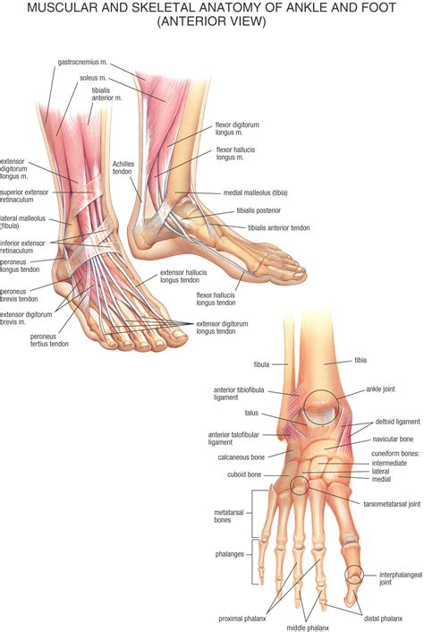 paw anatomy fysiurgisk mass 248 r tag h 229 nd om din krop