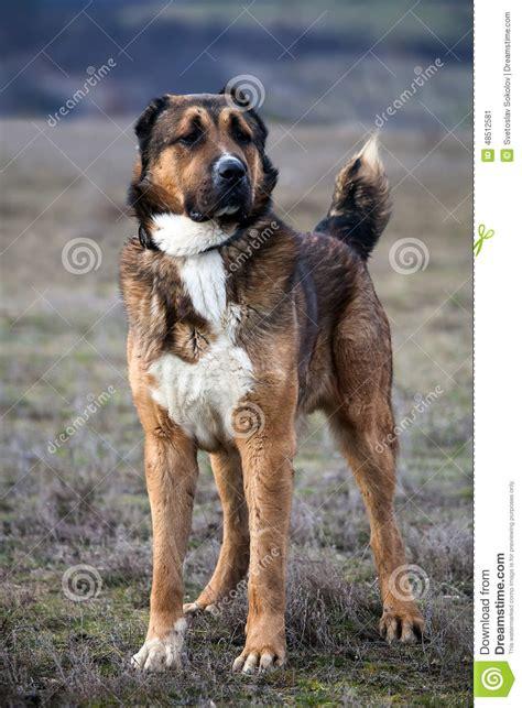 Asian House Plans alabai dog stock photo image 48512581