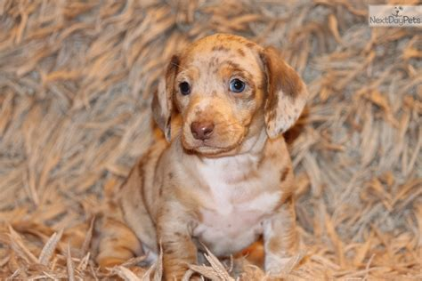 dachshund puppies dallas dachshund puppies for sale near dallas tx breeds picture