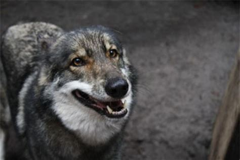 coyote with dogs coyote mix s best friend