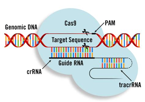 Punnett S Square Editing Genes Of Human Embryos