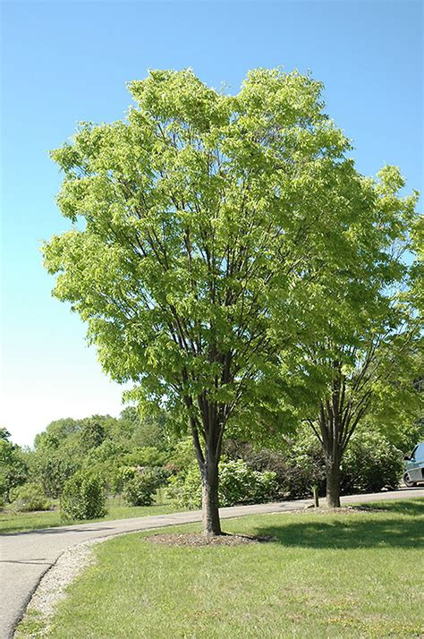 Green Vase Zelkova Problems by Zelkova Serrata Ogon Related Keywords Zelkova Serrata