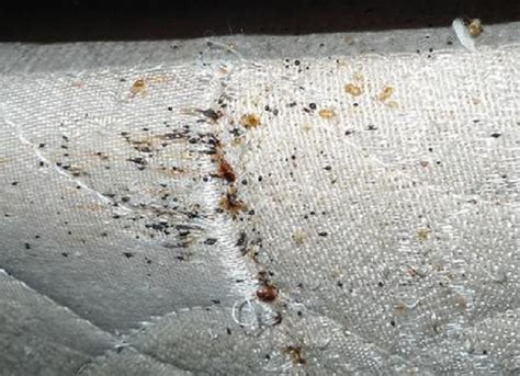Bed Bugs Mattress Pictures Enlargement Of Bed Bug Bed Mattress Sale