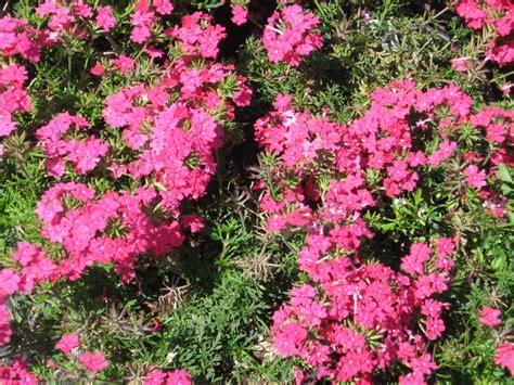 verbena fiore verbena flower