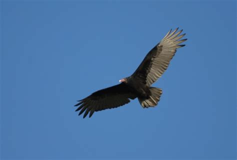 bill hubick photography turkey vulture cathartes aura