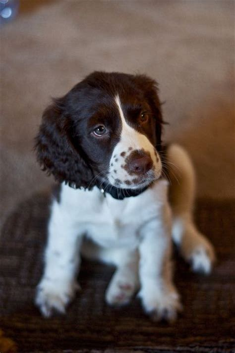 springer puppies oh i adore my springers and when they were puppies ah i could just eat them up so