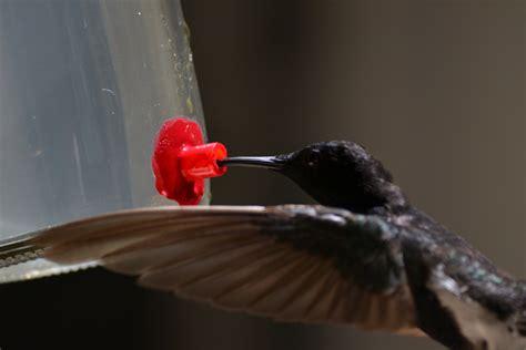 hummingbirds that sound like crickets earth com