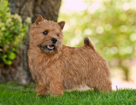 Norwich Terrier Shedding best 25 norwich terrier ideas on terrier