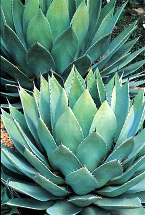 gt agaves sonoran oasis landscaping