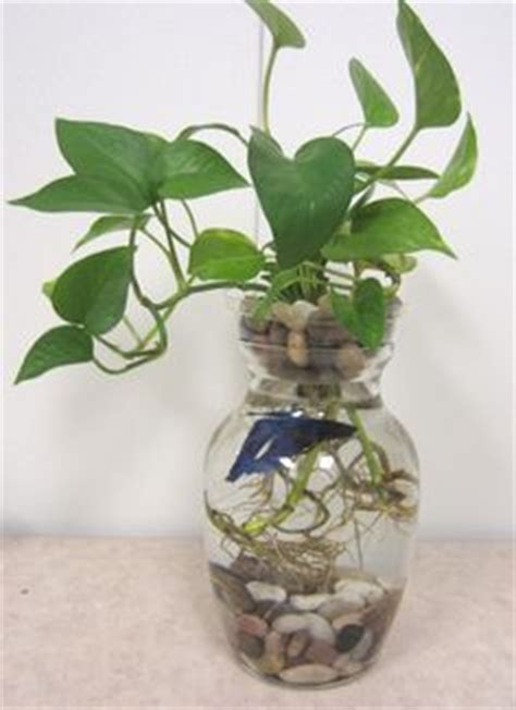 Betta Fish In Vase With Plant by Pin Betta Fish Vase With Plant On