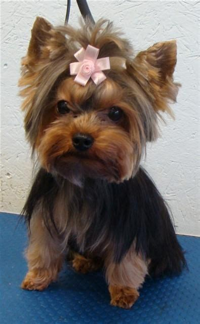 yorkshire terrier blond photos hairstyle gallery pin short haircut yorkie on pinterest furry friend