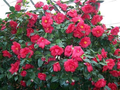 camelia fiore la camelia camellia japonica camellia japonica