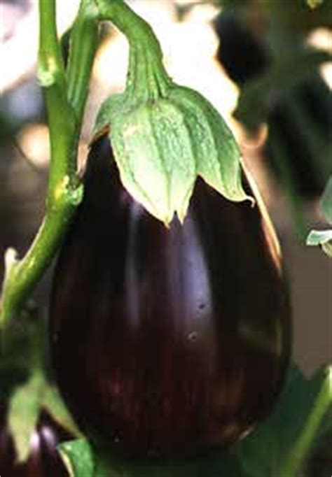 growing guide eggplant garden guides