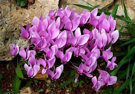 cura dei ciclamini in vaso i ciclamini piante invernali da balcone